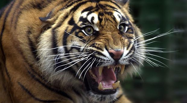 A Sumatran tiger called Oz was behind the attack on the zookeeper