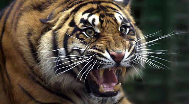 A Sumatran tiger which attacked and killed a zookeeper was said to be acting on instinct