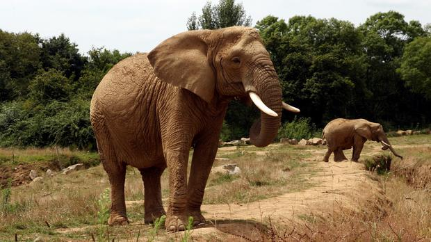 German hunter reportedly paid about £39,000 for a permit to shoot a large bull elephant (File photo)