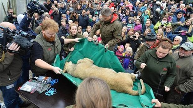 A dead male lion is carried to the table to be prepared for public dissection at Odense Zoo, Denmark,(Ole Frederiksen/Polfoto via AP)