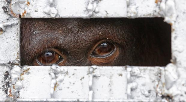 One of the 14 orangutans waits in a cage to be sent back to Indonesia at a military airport in Bangkok, Thailand (AP)