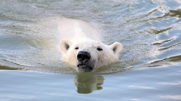 The man jumped inside the polar bear's enclosure at Copenhagen Zoo