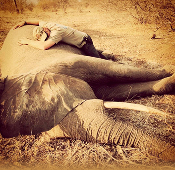 Prince Harry with a sedated female elephant in Kruger National Park in South Africa