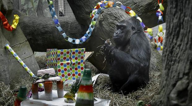 Colo the gorilla celebrates her 59th birthday with a party at the Columbus Zoo and Aquarium in Ohio (Tom Dodge/The Columbus Dispatch via AP)
