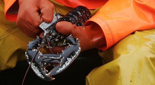 Sweden says the American lobster is threatening its European cousin
