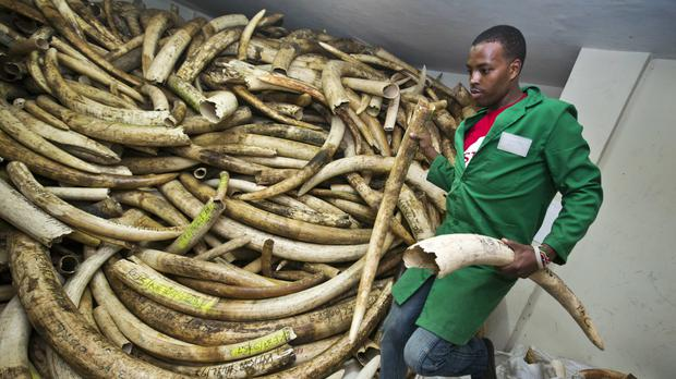 A worker removes elephant tusks from a pile in the secure strongroom (AP)