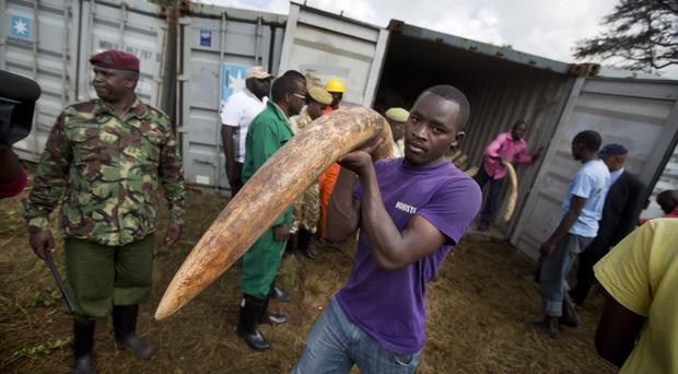 Workers from the Kenya Wildlife Service carry elephant tusks from shipping containers full of ivory transported from around the country (AP)