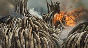 Piles of ivory are set on fire in Nairobi National Park, Kenya, in a dramatic statement against the trade in ivory and products from endangered species (AP)