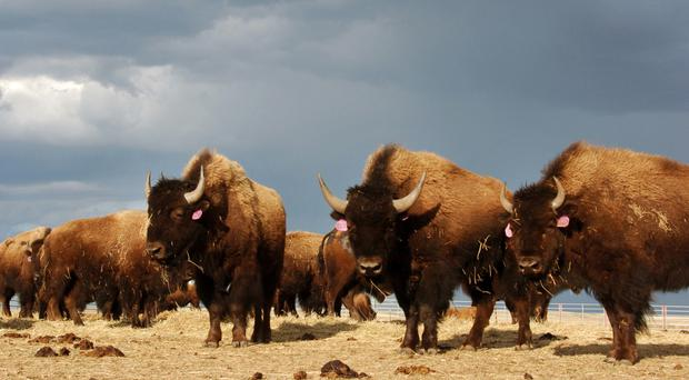 A herd of bison roam on the Fort Peck Reservation near Poplar, Montana (AP)