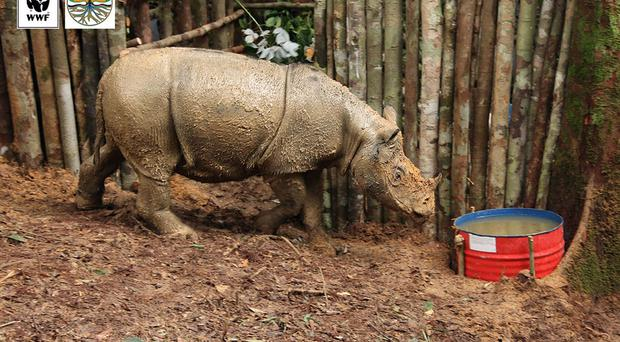 The first critically endangered Sumatran rhino to be found in an area of Borneo for 40 years, which died in April (WWF-Indonesia/PA)