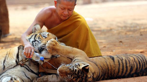 A Thai Buddhist monk gives water to a tiger from a bottle at the Tiger Temple west of Bangkok