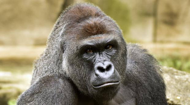 Western lowland gorilla Harambe pictured last June (File photo - Cincinnati Zoo and Botanical Garden/The Cincinatti Enquirer/AP)