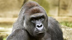 Western lowland gorilla Harambe pictured last June (Cincinnati Zoo and Botanical Garden/The Cincinatti Enquirer/AP)