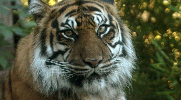 Authorities have been transferring the temple's 137 tigers to animal shelters after obtaining a court order