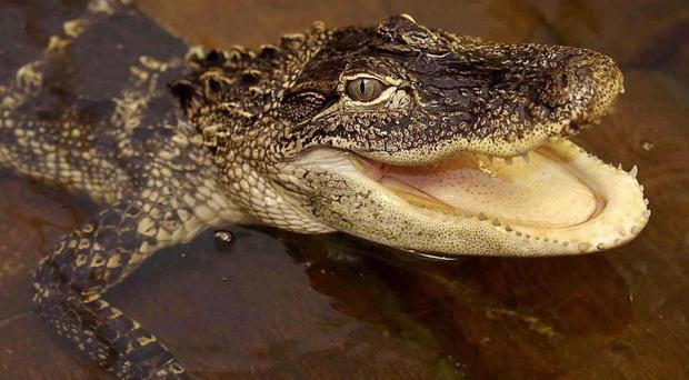 A two-year-old child was dragged into the water by an alligator