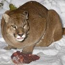 Colorado is home to up to 4,500 mountain lions, and they sometimes wander into urban areas looking for food, according to wildlife officials
