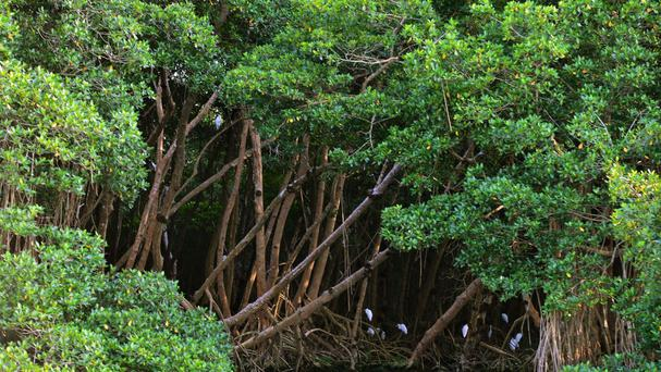 All of Sri Lanka's 37,000 acres of mangrove forests are earmarked for preservation