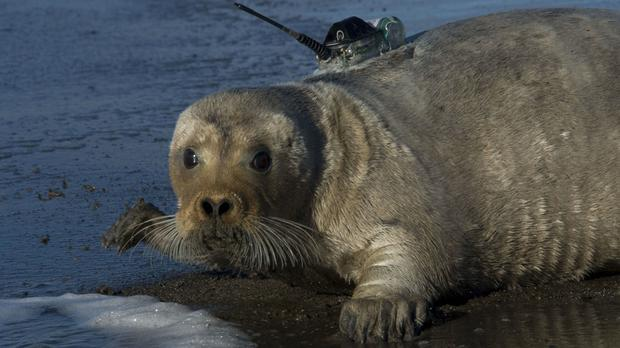 A tagged bearded seal in Kotzebue, Alaska, as a court heard arguments over whether they should be listed as a threatened species (NOAA Fisheries Service/AP)