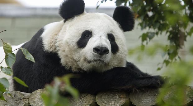 A panda at a zoo in Austria has given birth