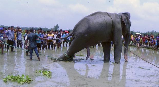 Bangladeshi villagers gather as wildlife experts try to help an elephant that was carried thousands of miles by raging flood waters (AP)