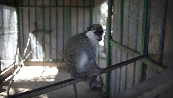 A monkey sits inside a metal cage in a zoo in Khan Younis, southern Gaza Strip (AP)