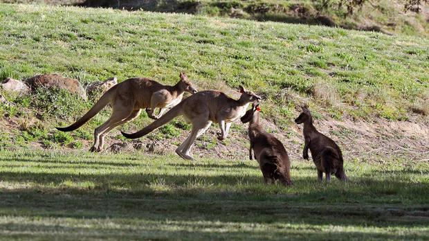 A video on Snapchat appears to show men brutally killing a kangaroo