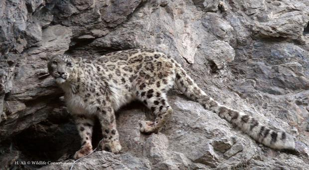A snow leopard walks in the Pamir mountains in Sarkand valley, Badakhshan province, Afghanistan (H. Ali Wildlife Conservation Society via AP)
