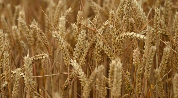 Egypt changed its import regulations to ban any ergot fungus in imported wheat