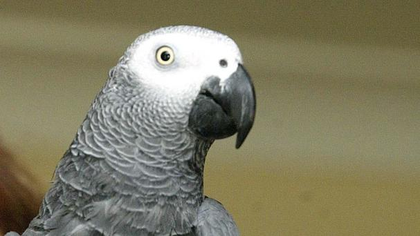 Conservationists say the African grey parrot has experienced a big drop in numbers