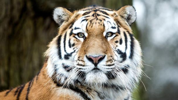 A woman is suing a Chinese safari park after she was injured by a tiger at the attraction