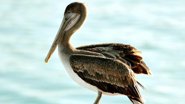 Pelicans were among the birds which have died