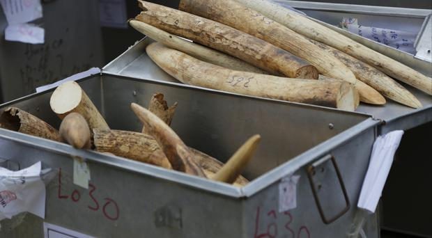 Confiscated elephant ivory tusks are placed in a container before they are destroyed in Hanoi (AP)