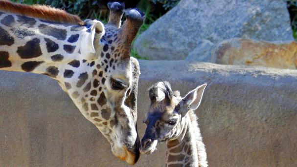 A baby female Masai giraffe, as yet unnamed, nuzzles her father Phillip at the Los Angeles Zoo (AP)