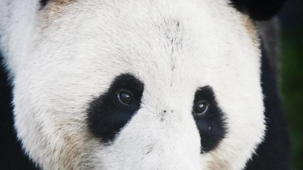 Zoo: Giant panda cub Bei Bei eating soft foods, improving