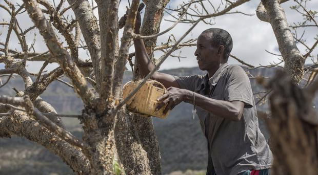 Mohamed Ahmed Ali cuts a frankincense tree near Mader Moge, Somaliland (AP)