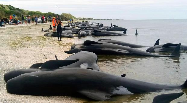 Whales stranded at Farewell Spit near Nelson, New Zealand (Tim Cuff/New Zealand Herald via AP)