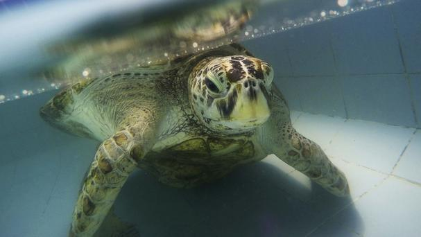 Coin-eating sea turtle nicknamed