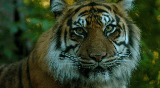 India is home to about two-thirds of the world's wild tigers