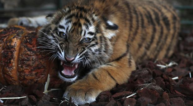 A Siberian tiger destined for a zoo in war-torn Syria and rescued by Animals Lebanon (Hussein Malla/AP)