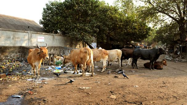 Muslim man in India dies after attack by cow vigilantes