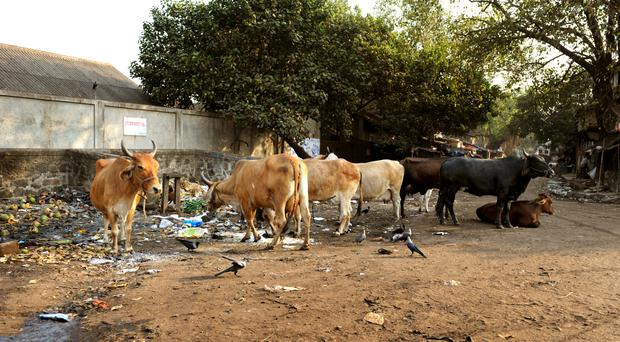 A man transporting cows in India has died after a mob attack