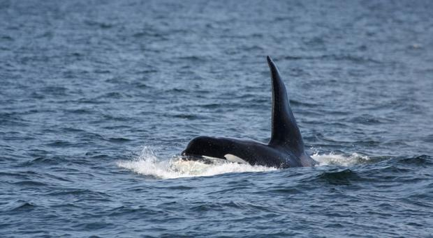 Killer whales can grow as long as 30ft, dwarfing great white sharks