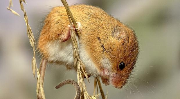 The baby mice grew into adults with normal fertility of their own