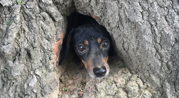 Trunk call: Trapped Rocco peers through the tree (Kentucky State Police/AP)