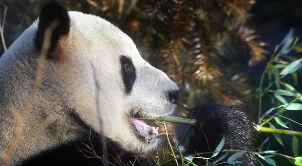 The three pandas living in Japan have now returned to China