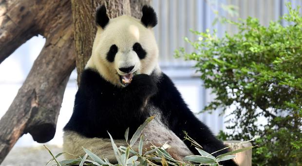 Female giant panda ShinShin at Ueno Zoo in Tokyo (Nobuki Ito/Kyodo News via AP)