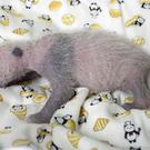 A baby giant panda cub at Ueno Zoo in Tokyo (Tokyo Zoological Park Society via AP)