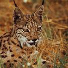 The fire threatens the Iberian lynx