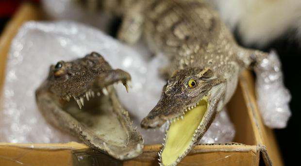 There are reported to be only 410 Siamese crocodiles left in the world