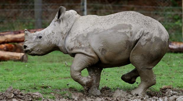 South Africa is home to most of the world's rhinos